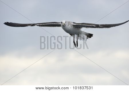 Black Backed Kelp Gull