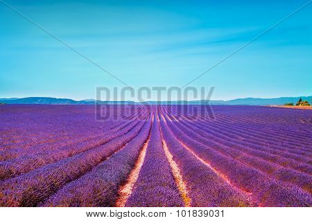 Lavender Flowers Blooming Field And Clear Sky. Valensole, Provence, France