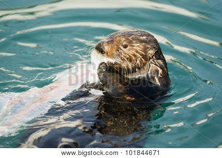 Wild Sea Otter Eats Fresh Fish Reserrection Bay Animal Wildlife