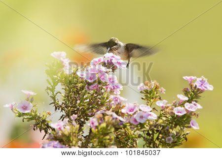Juvenile male Hummingbird feeding on a pink Phlox flower in summer garden