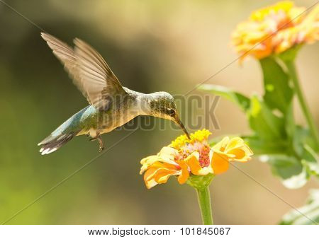 Juvenile male Hummingbird feeding on a Zinnia flower in summer garden