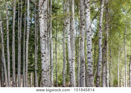 Pattern Of Aspen Trees.