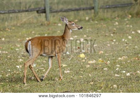 Adult Deer Walking In Grass.