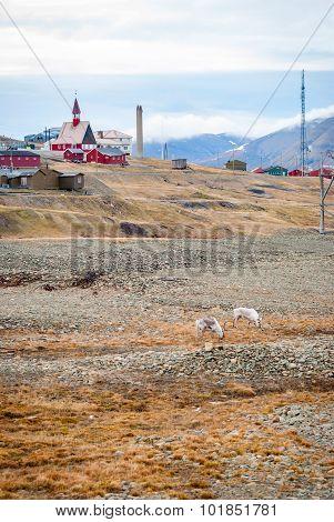 Reindeer Infront Of Church In Longyearbyen, Svalbard