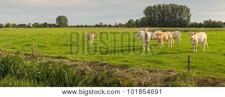 Curiously Looking Cows In A Meadow