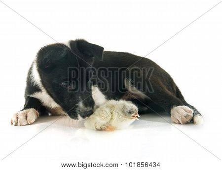 Puppy Border Collie And Chick