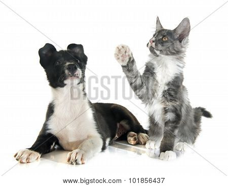 Puppy Border Collie And Kitten