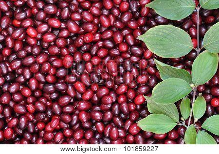 Ripe Red Cornelian Cherries