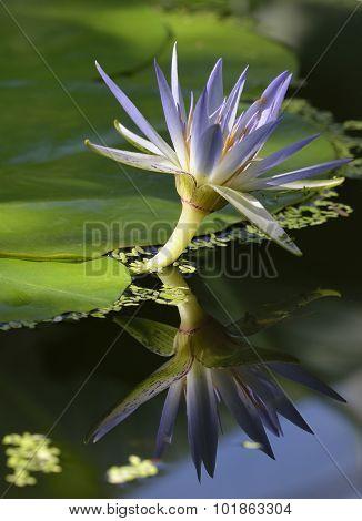 Blue Egyptian Lotus