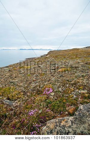 Flowers Blossoming In Arctic Tundra In Summer, Svalbard