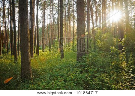 Sunset On The Forest