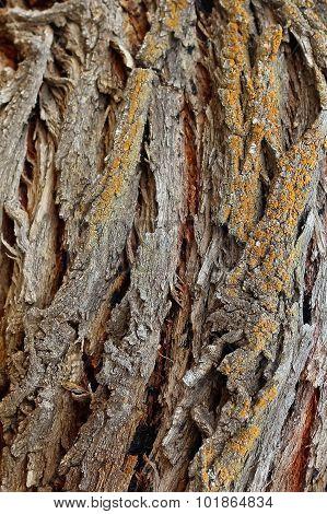 Seven Hundred Willow Bark