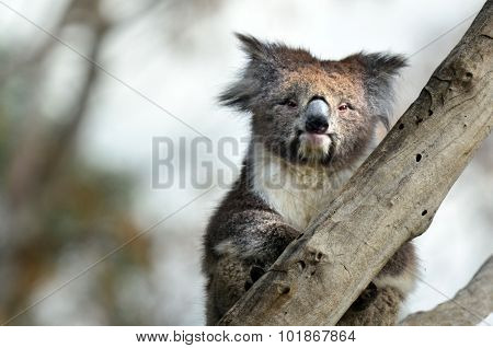 Koala (Phascolarctos cinereus) sit on an eucalyptus tree in Australia. Looks at the camera