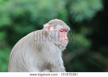 Monkey At Kam Shan Country Park, Kowloon