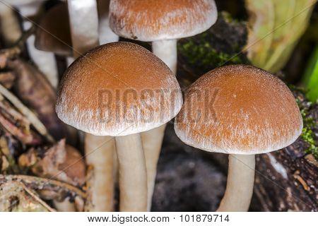 The Cap Poisonous Mushroom