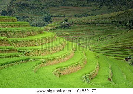Rice Field Terraced In Mu Cang Chai, Vietnam