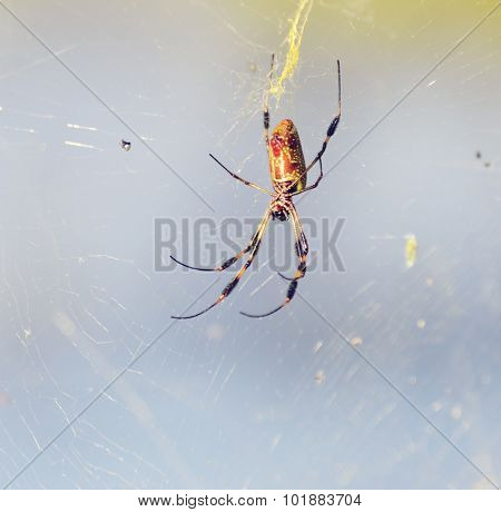 Banana Spider on Its Web in Florida Wetlands