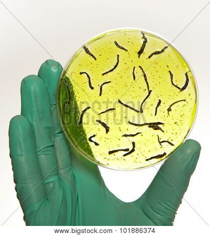 Scientist holding a petri dish with virus cells