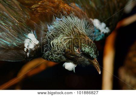 Tui - Bird