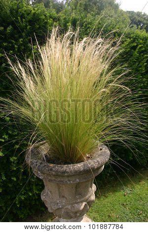 Ornamental grass in jardiniere