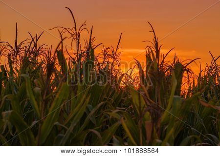 Corn Plants In Field In Sunset