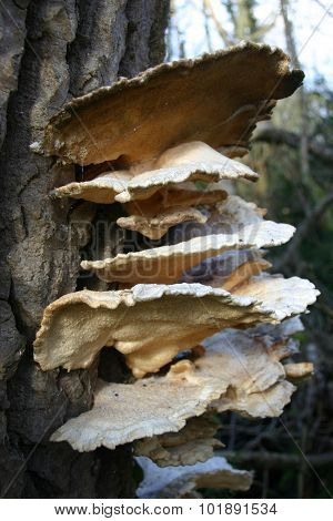 Bracket fungi growing on a tree trunk