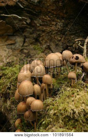 Light brown mushroom growing on a decaying log