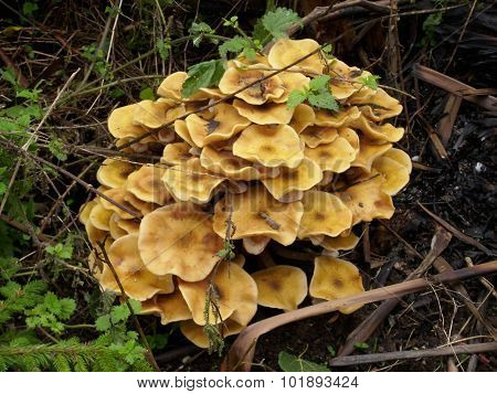 Yellow mushroom growing on a decaying log