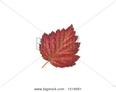 Herbstblatt Over White Background