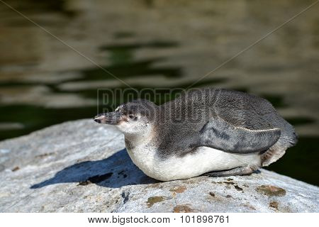 The Humboldt Penguin l