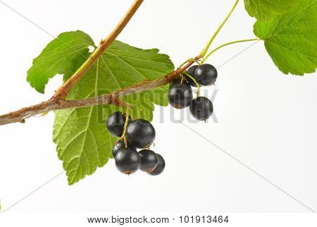 black currant clusters on the branch with green leaves