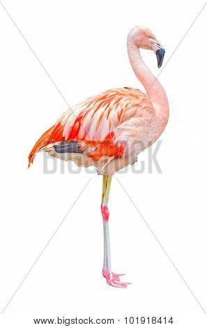 Flamingo Isolated