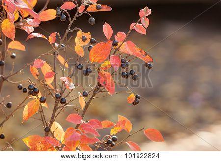 Aronia Branches