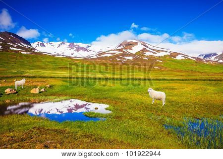Summer Iceland. White Icelandic sheep grazing in the meadow. Small lake surrounded by green meadow
