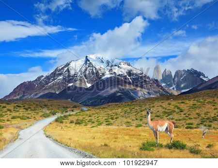 The beautiful summer morning in Patagonia. National Park Torres del Paine. On dirt road is worth guanaco - Lama