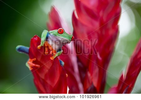red eyed treefrog from the tropical jungle of Costa RIca and Panama macro of an exotic rain forest animal, tree frog