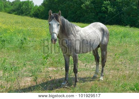 Home horse on a green field