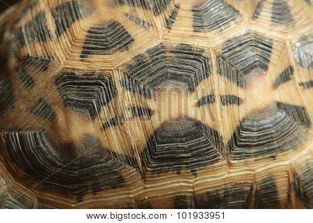 Common spider tortoise (Pyxis arachnoides arachnoides) shell texture. Wild life animal.