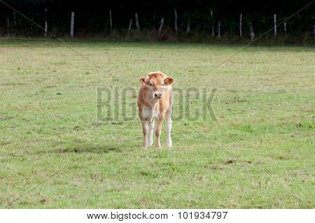 Nice brown claf in the meadow looking at camera