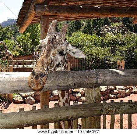 Giraffe wanting to say something