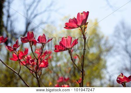Pink Dogwood Blooms Close Up
