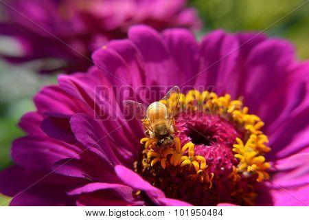 Macro Closeup Bee Pollinates Purple Flower