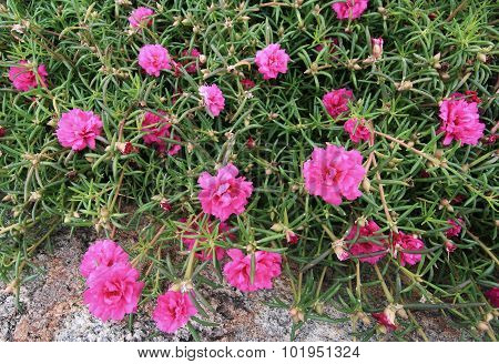 Sweet Color Common Purslane Flowers