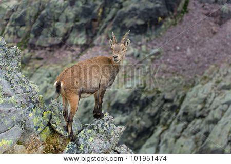 Ibex On Rock