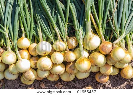 Harvest of onion on the ground.
