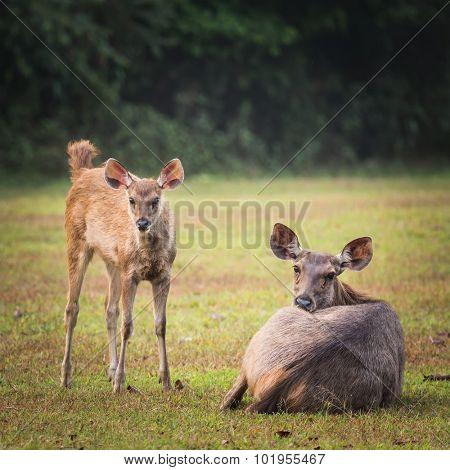 Sambar deers female and cub