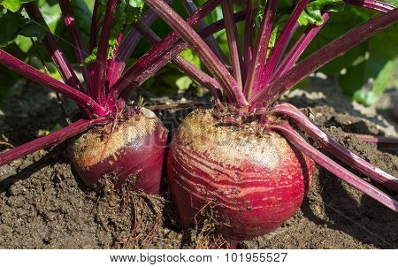 cultivated beet plants in a field of dry soil