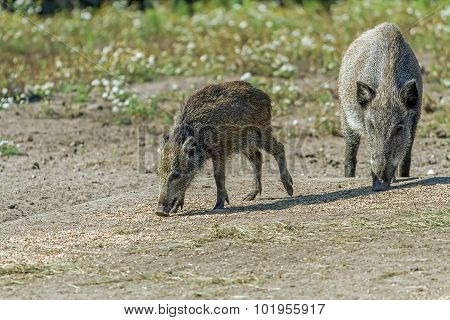 Two Wild Hog In Summer