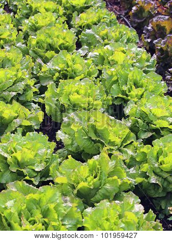 Green Salad And A Chicory Heads In Vegetable Garden