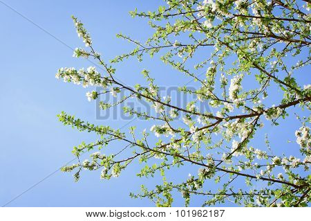 blooming apricot tree flowers against blue sky
